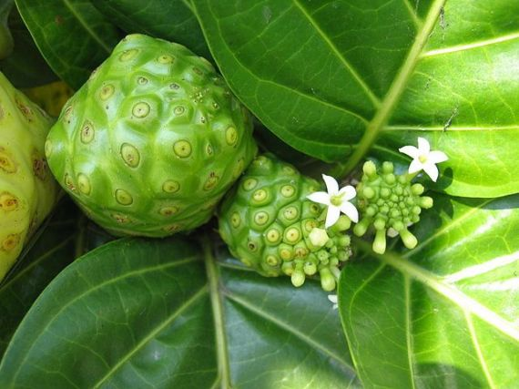 640px-Noni_fruits_and_flowers_(Morinda_citrifolia)