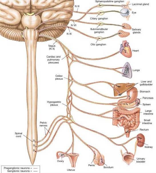 nervul-vag-organe