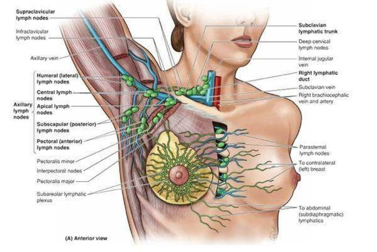 Pictures of Axillary Lymph Nodes 605